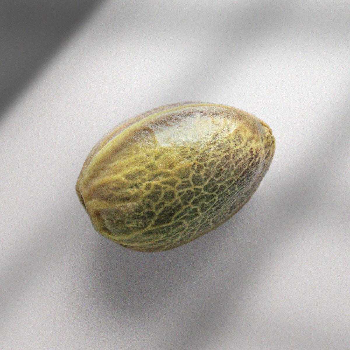 Cannabis Seed Macro