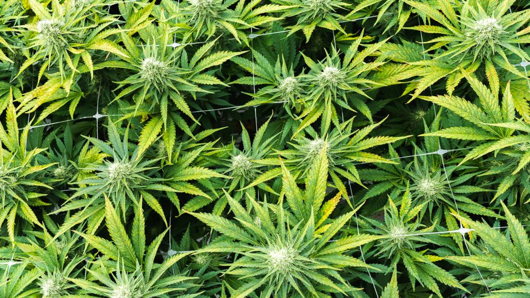 Supreme Cannabis